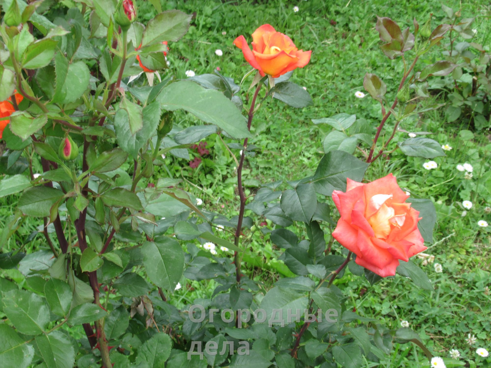 Подготовка роз к зиме осенью