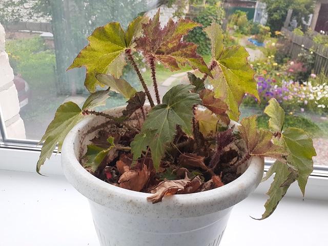 аспирин комнатных растений