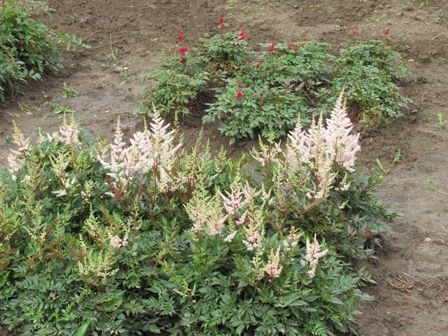 растение астильба